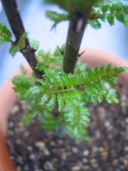 美味福々家の山椒の木