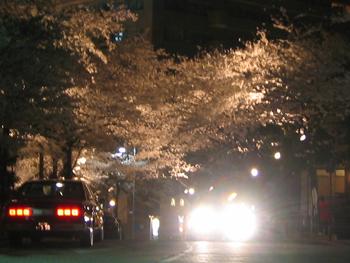 六本木夜桜